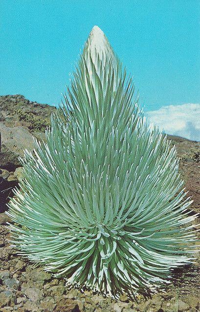 Haleakalâ silversword island of Maui, Hawaii, USA.Esta planta sólo crece en el cráter del volcán en la isla de Maui, Hawaii, EE.UU. Sólo florece una vez después de 15-50 años de crecimiento y luego muere