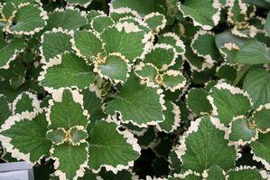 plectranthus ciliatus #FANTASTICfoliage