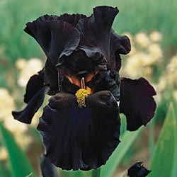 normally i do not like black flowers.... but it is an iris.....
