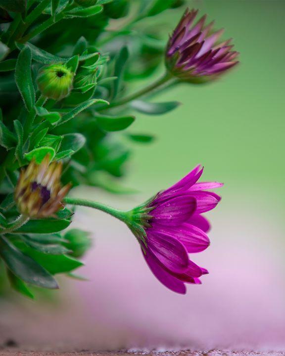 هل تعلم أن زهرة البنفسج معروفة بإزهارها وتكيفها السريع مع المناطق المختلفة وتتحمل الظروف القاسية كما هم متطوعو بنفسج وشبابها Violet Flower Violet Flowers
