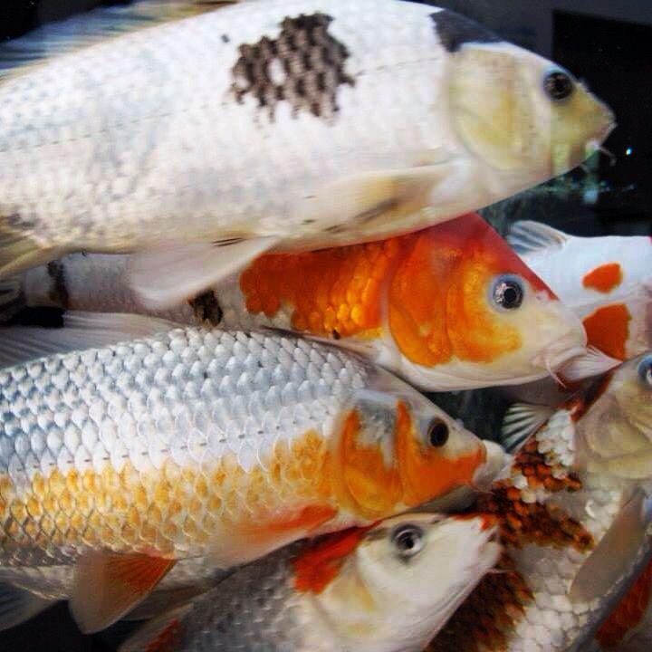 98 best aquaponics images on pinterest aquaponics fish for Koi aquaponics