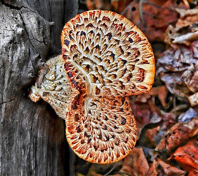 **fungus