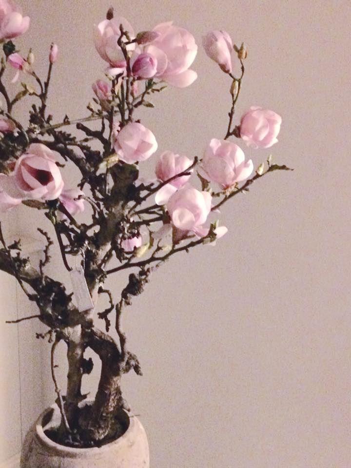 Magnoliaboom / bloesemboom. Verhuur of verkoop