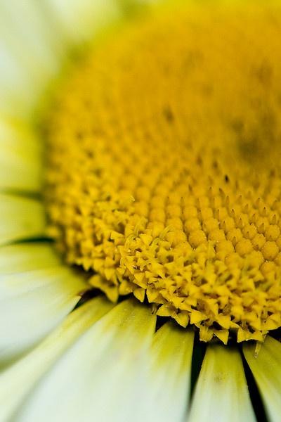 Macro daisyMacro Daisies, Flower Power
