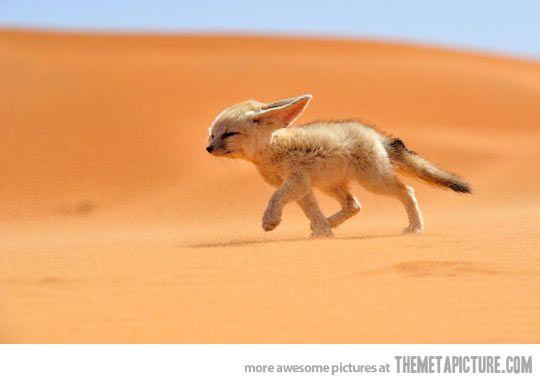 The wonderful Fennec Fox… kinda looks like my pup Thunder