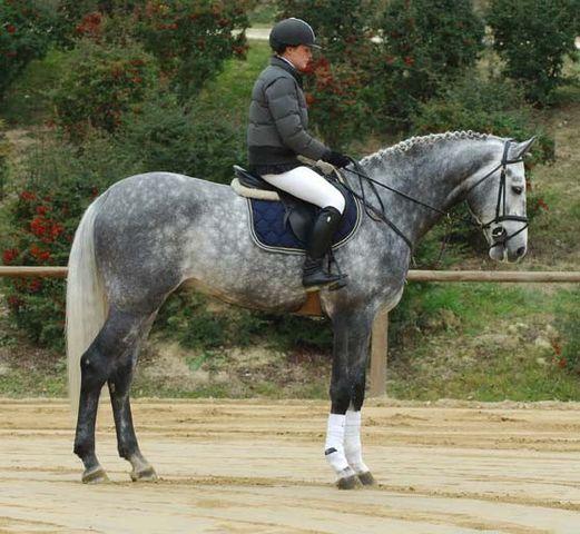 Clintus  Holstein Horse