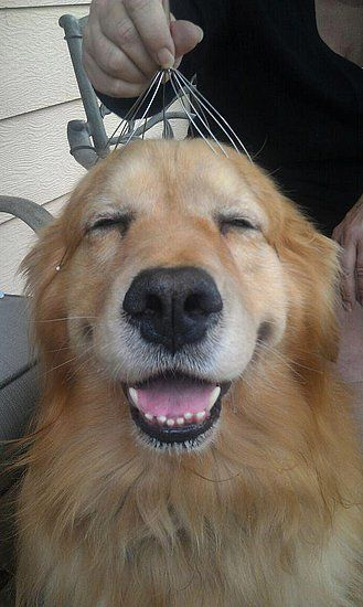 Golden Lab has a head massage from a wire whisk thingy... see