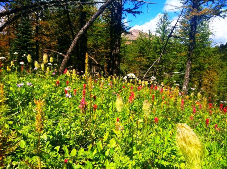 The wild flowers are out at #SunshineMeadows! #hiking #banff #CanadianRockies