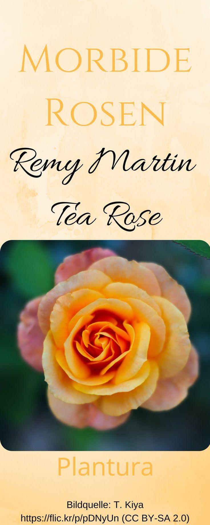 Die Rose Remy Martin Tea Rose Kann Schöne Orange Goldene, Fast Schon  Cognacfarbene Blüten