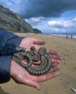 Join on of Charmouth Heritage Centre's guided fossil hunting walks with the wardens to find and take home your own Jurassic fossil!