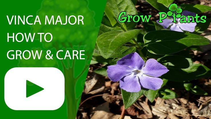 Vinca major plant - How to grow & care - Plant information ...