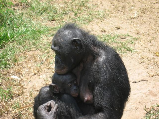 Bonobo à Kinshasa