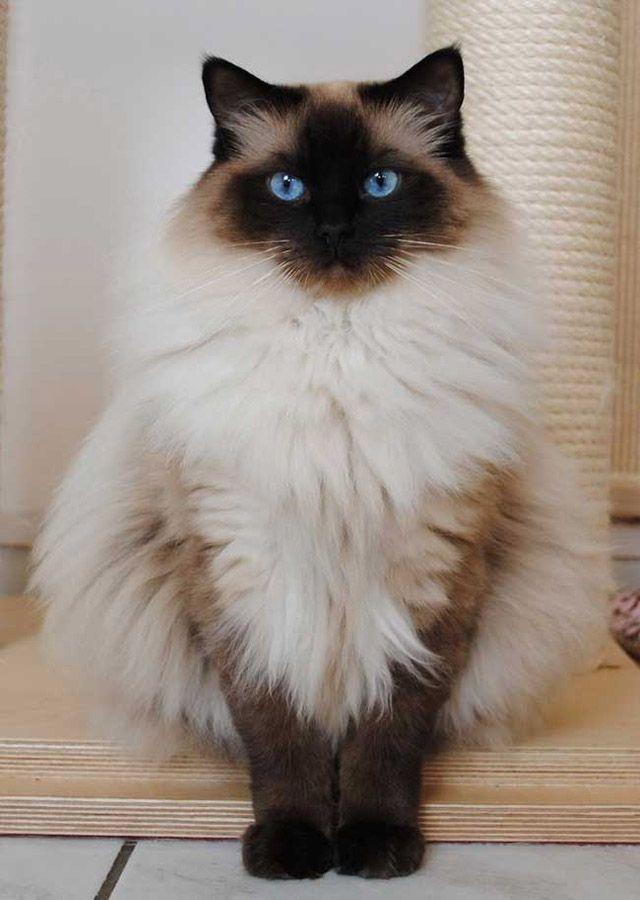Beautiful Long Hair Cat In World Fluffy Cat Breeds Cute Animals Fluffy Cat