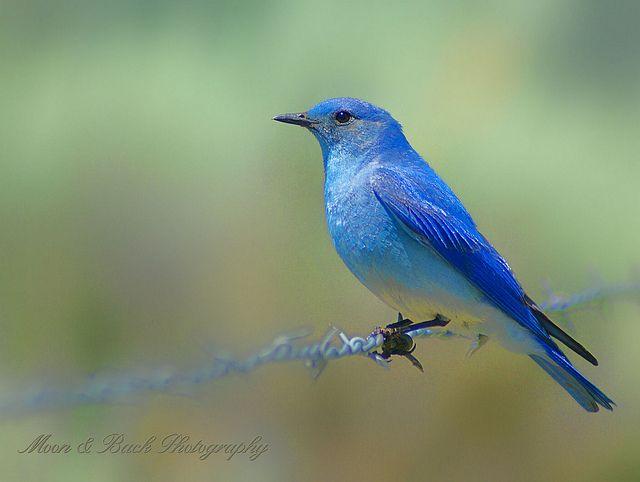blue bird of happiness .