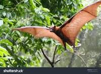 Bats of the genus Pteropus, belonging to the megabat suborder, Megachiroptera, are the largest bats in the world. They are commonly known as the fruit bats or flying foxes among other colloquial names