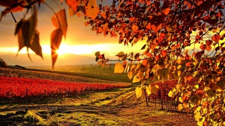 VINEYARD in AUTUMN - seasons, outdoors, maurizio rellini, umbria, vineyard, italy, sunrise, nobody, landscape, warm light, europe, cropland, perugia district, sopa, scenic, western europe, mediterranean area, countryside, morning, autumn, backlit