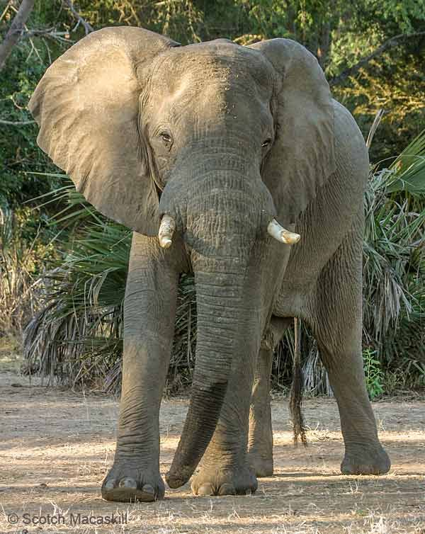 Elephant bull looking threatening | Elephant, Bull elephant ...