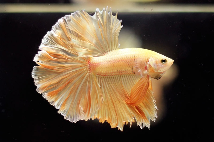Yellow   Japanese Fighting Fish   Pinterest
