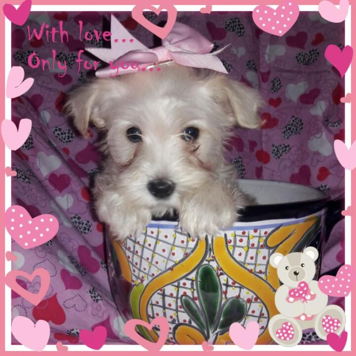 Toy schnauzer puppies for sale in texas