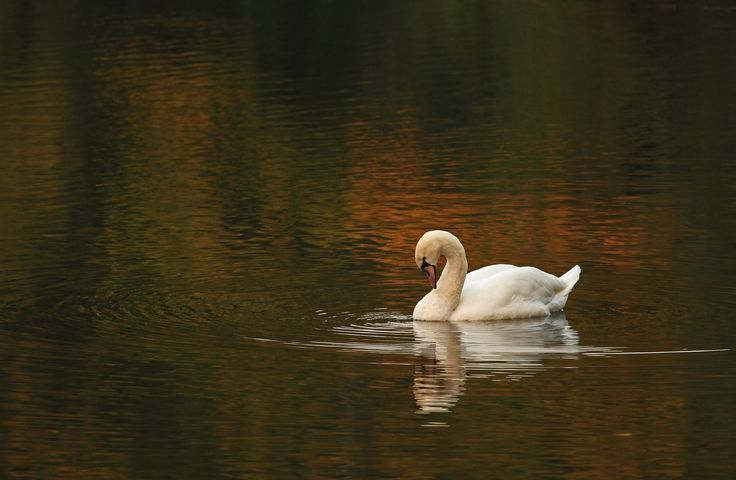 Autumn swan on the water by Adam Konieczny on 500px