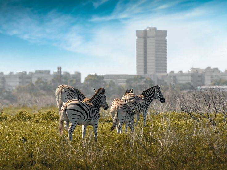 Zebra on our South Campus which is situated on a nature reserve