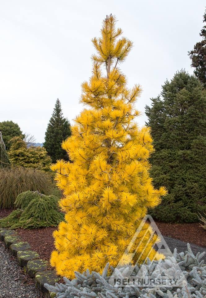 Pinus Contorta - Chief Joseph | Plants | Pinterest | Chief ...