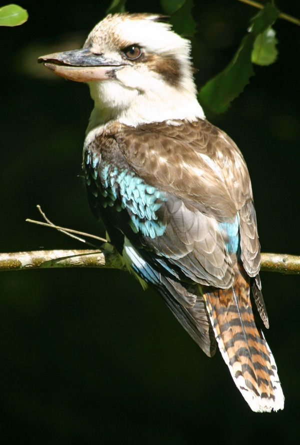 kookaburra good pose