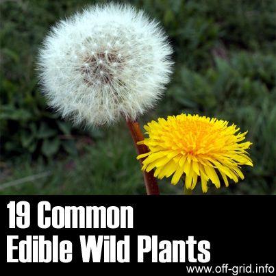 19 Common Edible Wild Plants