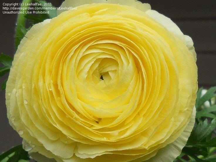 TURBAN Persian Buttercup  | picture of Ranunculus, Persian Buttercup,Turban Buttercup, Persian ...