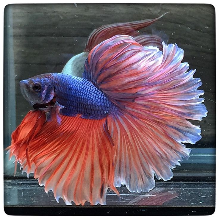 128 best images about the betta project on pinterest for Betta fish tank accessories