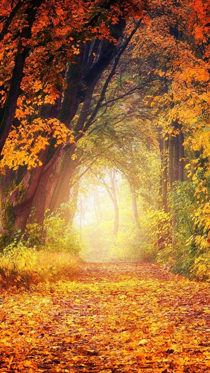 30 Fall Foliage Wallpaper Phone Backgrounds For Android Free Download Musim Gugur Hutan Daun