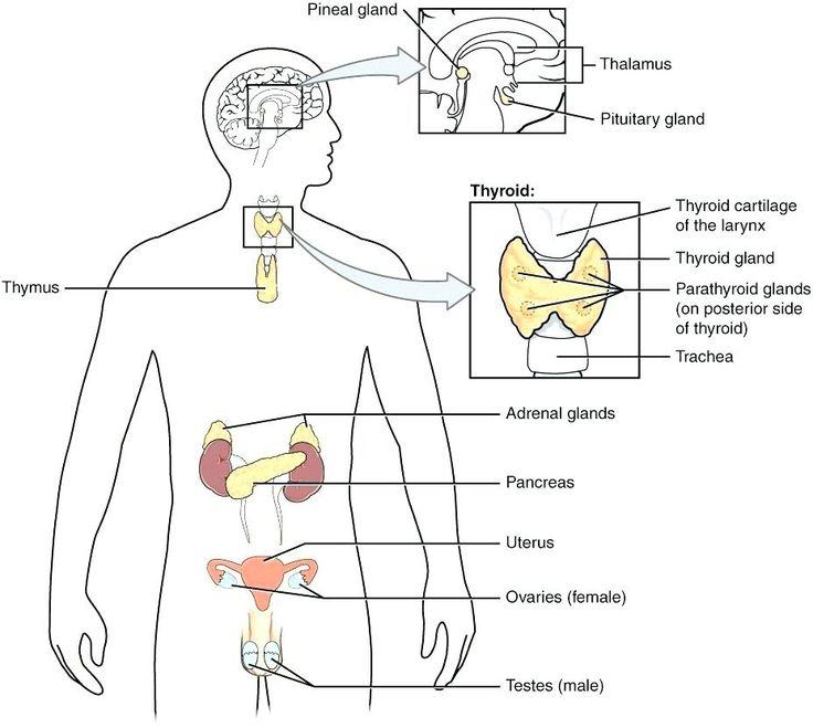 Worksheets Endocrine Worksheet High School Hormones