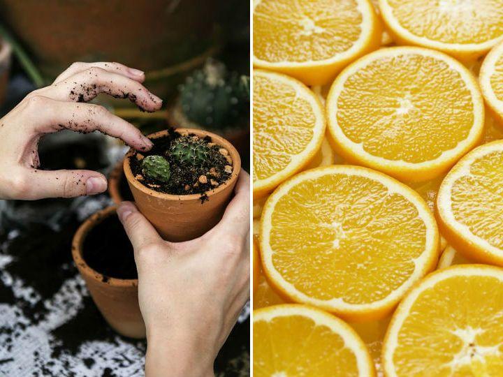 Planta Tu Propio Naranjo Para Decorar Y Aromatizar Tu Hogar Como Plantar Semillas Jardinería En Macetas Cultivo De Hortalizas
