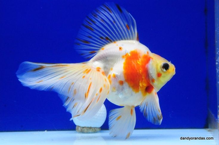 17 best images about gold fish types on pinterest dragon for White fish types