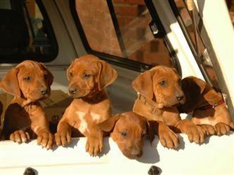aDOGable Rhodesian Ridgeback puppies !