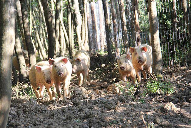Free-range Borgo pigs http://www.borgosantopietro.com/en/life-borgo-santo-pietro/borgo-farm/
