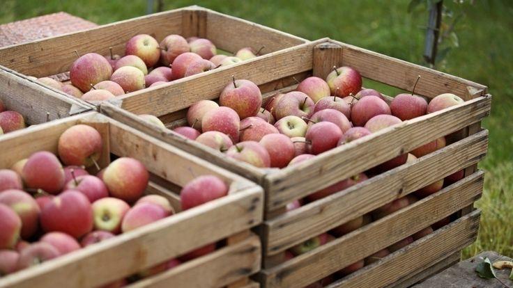Äpfel lagern - Suchen Sie sich hierfür nach Möglichkeit einen trockenen Tag aus und ernten nur die Exemplare, die weder übermäßig groß noch verhältnismäßig klein gewachsen und zudem frei von Schädlingen sind. Der Lagerraum sollte zwischen zwei und sechs Grad Celsius kühl und dunkel sein und zudem eine hohe Luftfeuchtigkeit aufweisen.