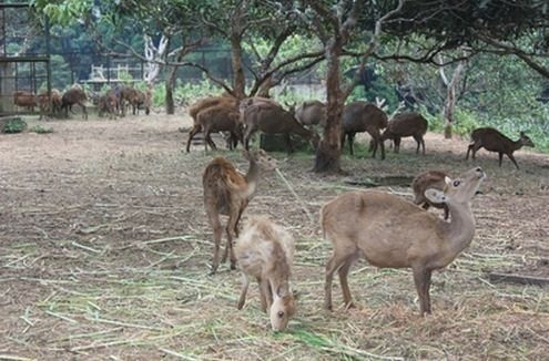 Penangkaran rusa di pulau bawean - jawa timur
