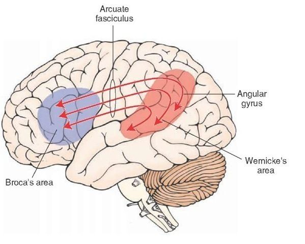 Relationship of Wernicke s and Broca s areas    Diagram    is of the left cerebral hemisphere