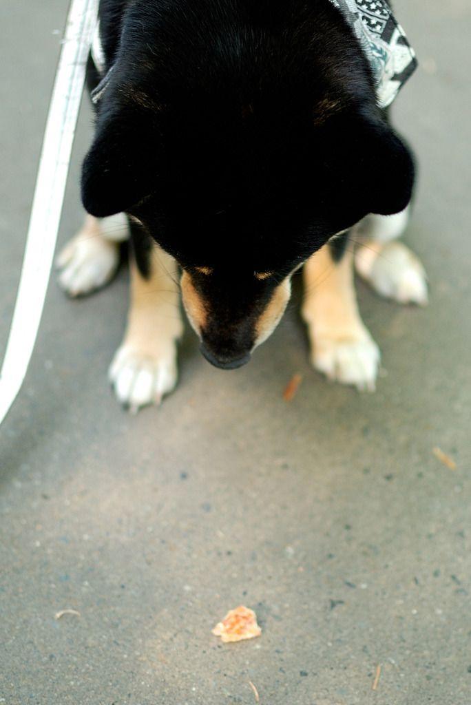 NIKON(ニコン)のカメラ NIKON D80で撮影した動物(黒柴こまめ マテ)の写真(画像)