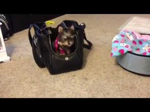Misa Minnie smartest Yorkie puppy 19 wks old - YouTube
