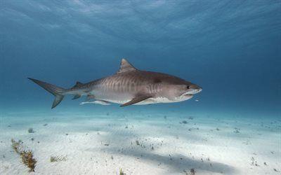 Scarica sfondi mondo subacqueo, shark, mare, predatori