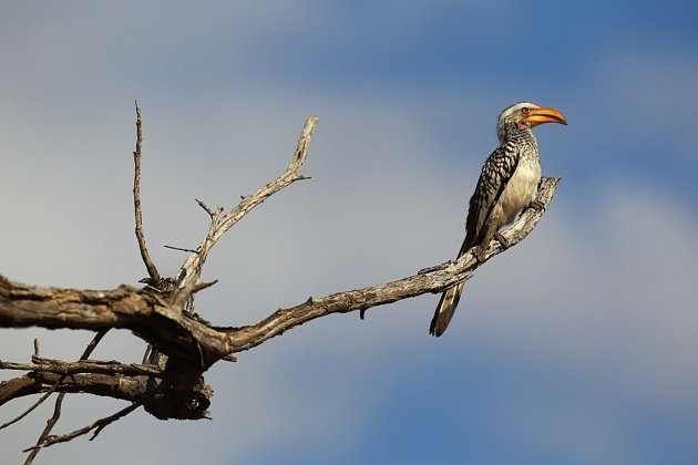 A yellow-billed hornbill in Kruger National Park, South Africa.