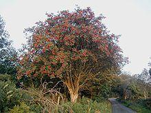 La photo montre un arbre de l'espèce Sorbus aucuparia, ou sorbier des oiseleurs, dont les fleurs sont rouges. arbre sacré pour les fées ou protection contre elles?
