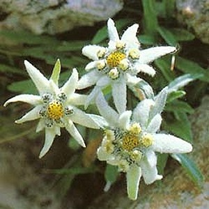 Edelweiss flower provides antioxidant protection and improves hydration.