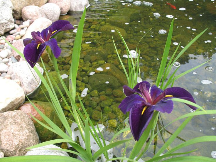 17 best images about ponds on pinterest backyard ponds for Best pond plants for filtering