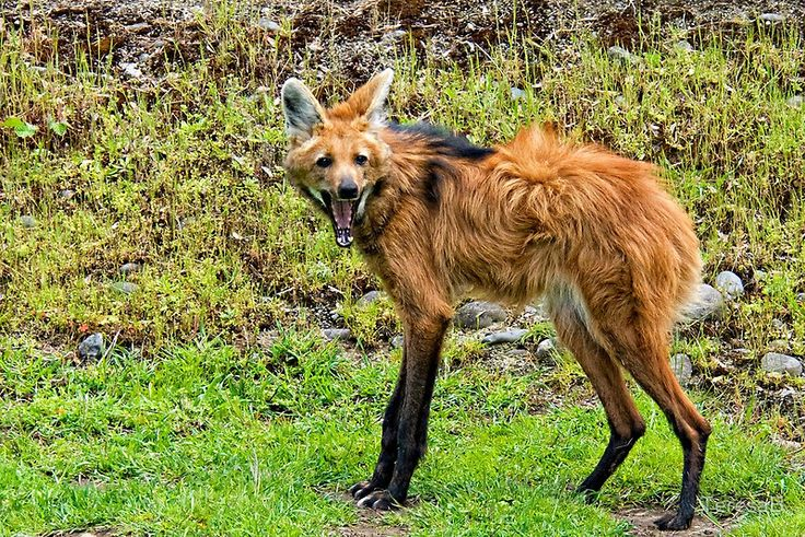 beautiful-wildlife:    Maned Wolf  The maned wolf (Chrysocyon brachyurus) is the largest canid of South America, resembling a large fox with reddish fur.