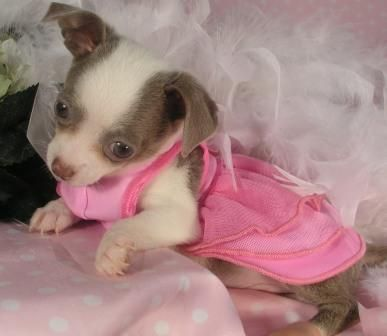This Teacup Chihuahua puppy has a micro chip for her safety. Description from puppiesforsalesite.com. I searched for this on bing.com/images