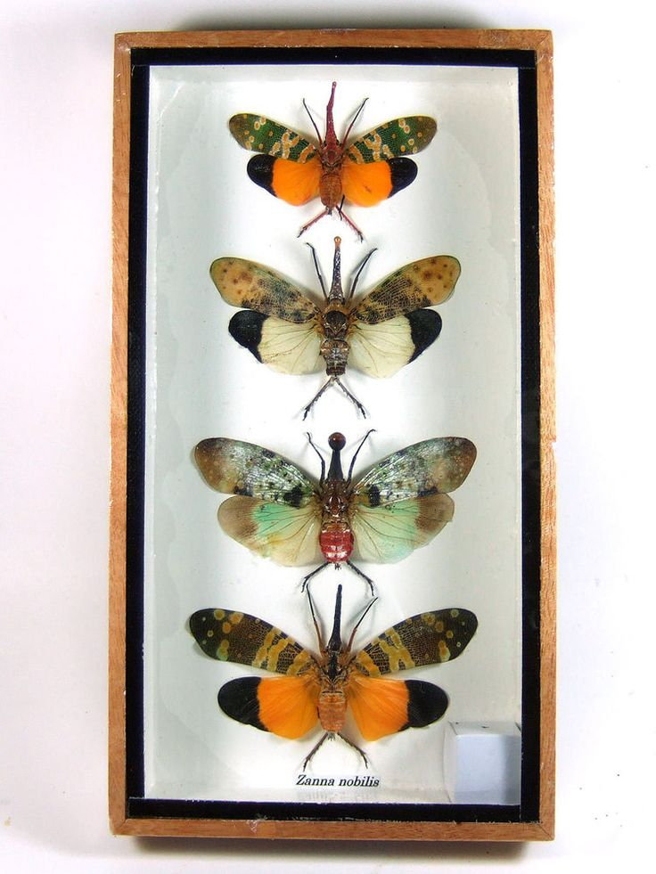 4 Zanna nobilis Real Butterfly Insect Bug Taxidermy Display in Framed Box gpasy