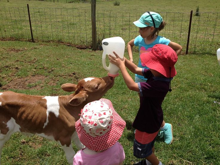 Maleny Dairies is an excellent family outing and only a short drive from Brisbane! Maleny Dairies run tours for the public from Monday to Saturday at 10.30am and 2.30pm.